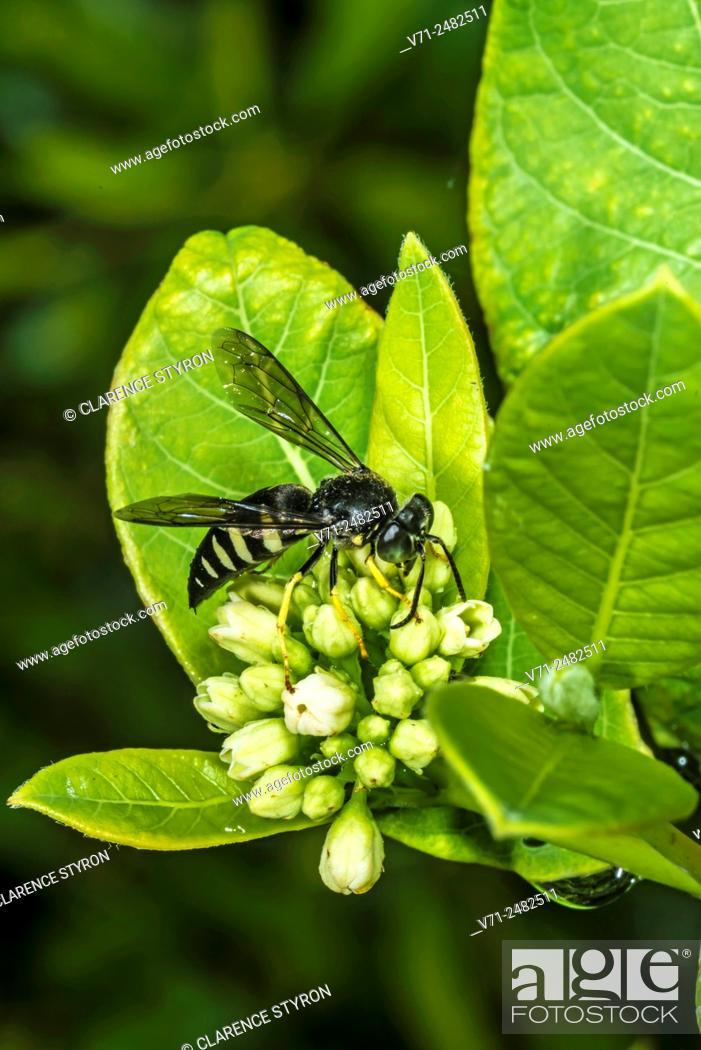 Stock Photo: Eastern Sand Wasp (Bembix americana spinolae) Feeding on Indian Hemp (Apocynum cannabinum) Flowers.