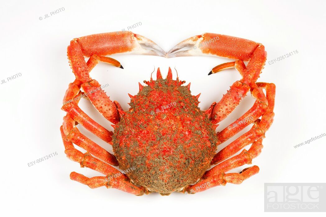 Stock Photo: Spiny Spider Crab.