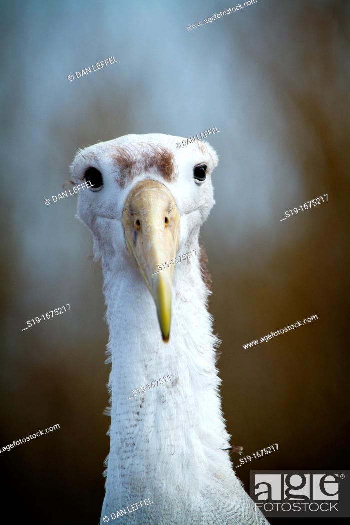 Stock Photo: Immature Albatross, Galapagos Islands.