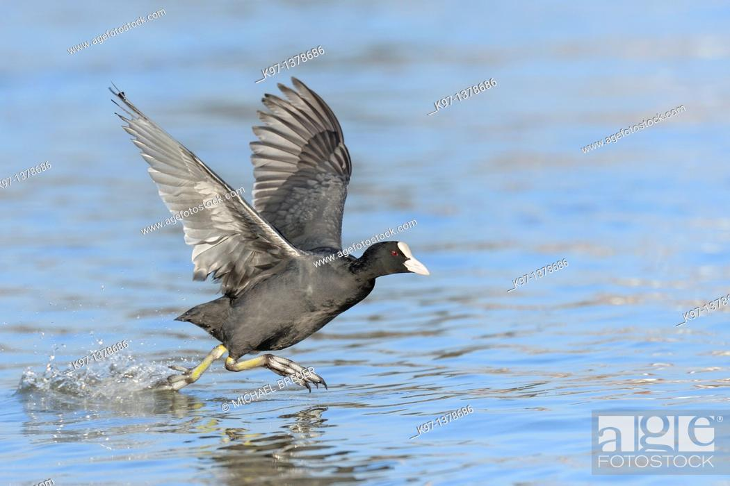 Stock Photo: Coot, Fulica atra, Germany, Europe.