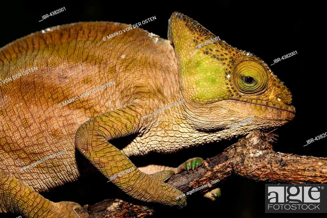 Stock Photo: Parson's chameleon (Calumma parsonii cristifer), female, Analamazoatra, Andasibe-Mantadia National Park, Alaotra-Mangoro, Madagascar.
