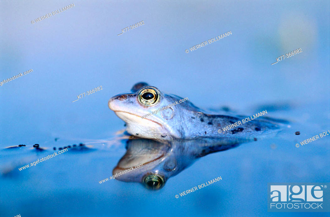 Stock Photo: Moor frog (Rana arvalis) male in mating season. Lower Saxony. Germany.