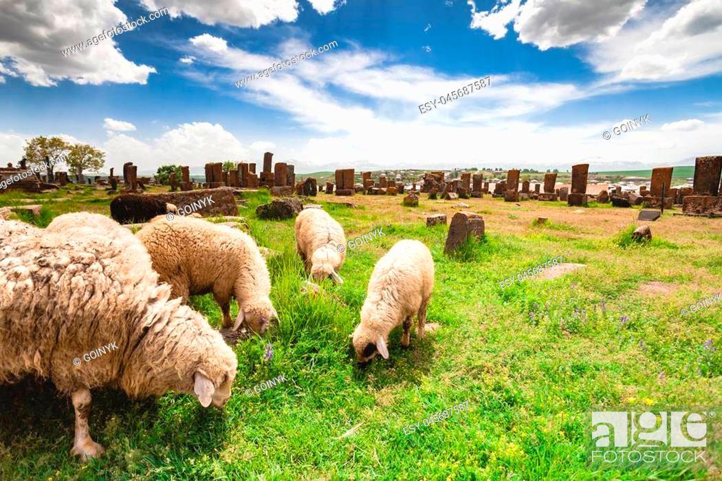 Stock Photo: Sheep graze in Noratus Cemetery with Khachkars, Armenia.