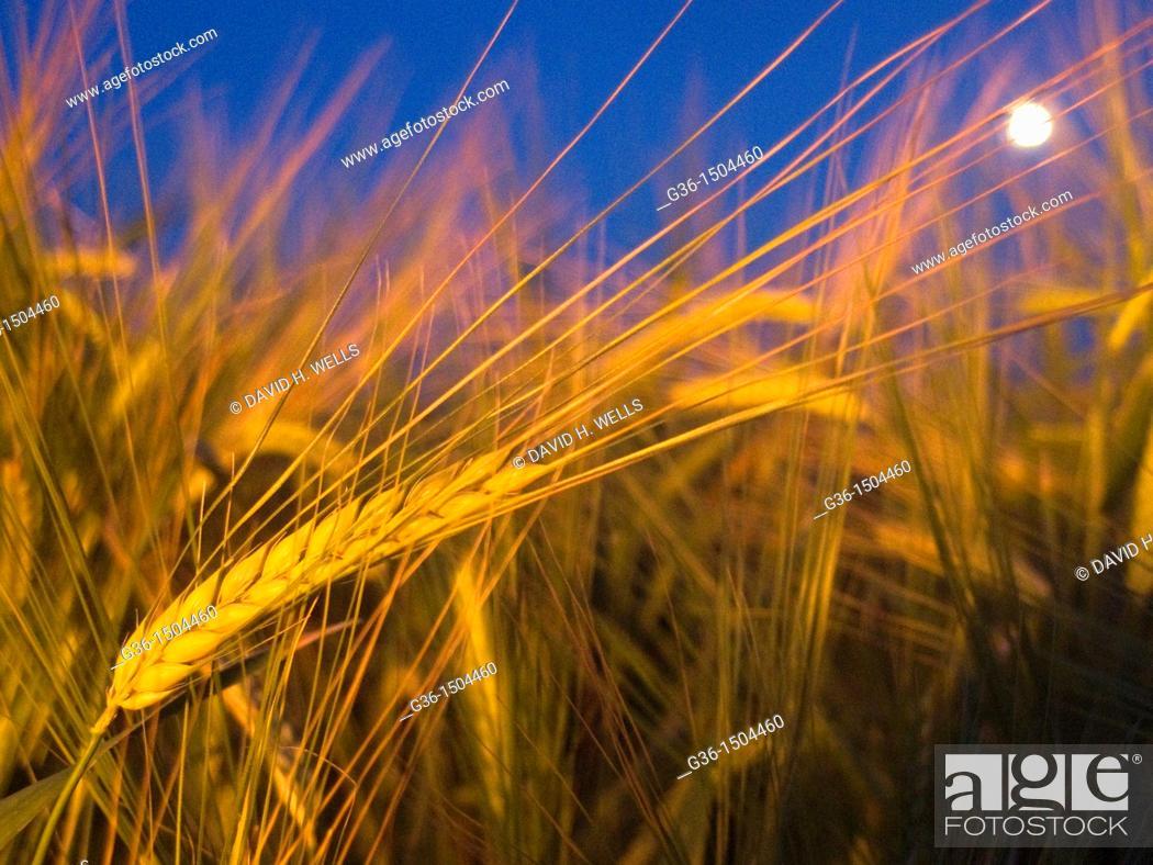 Stock Photo: Wheat grows in a field in Portico de Romagna, Emilia-Romagna, Italy.