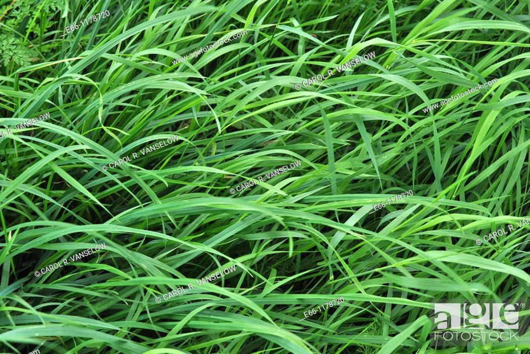 Stock Photo: long grass blowing in the wind.