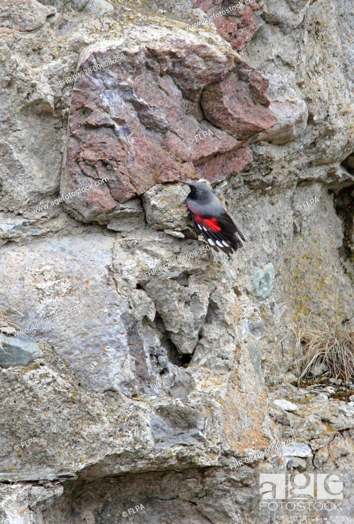 Stock Photo: Wallcreeper Tichodroma muraria adult male, wings partially open, on cliff face, Georgia, may.