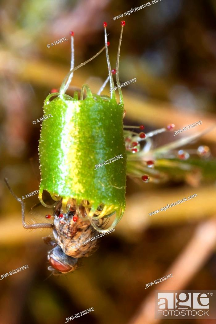 Stock Photo: great sundew, English sundew Drosera anglica, leaves with caught insect, Germany, Bavaria.