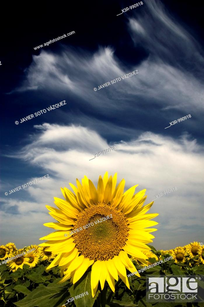 Stock Photo: Sunflower in a cloudy day.