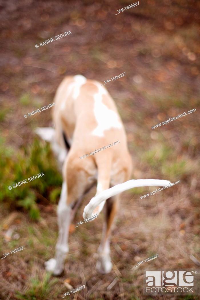 Stock Photo: Tail of a Spanish Greyhound.