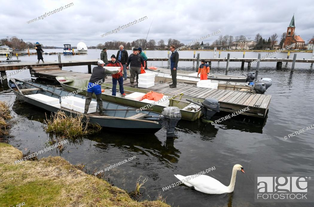 Stock Photo: 23 March 2021, Brandenburg, Werder (Havel): Three million glass eels are handed over to commercial fishermen in transport crates and released by them into the.