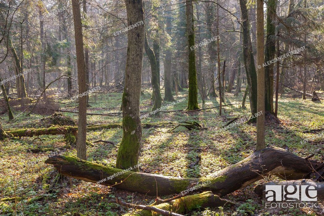Stock Photo: Springtime at old natural forest with dead tree trunk lying in foreground, Bialowieza Forest, Poland, Europe.