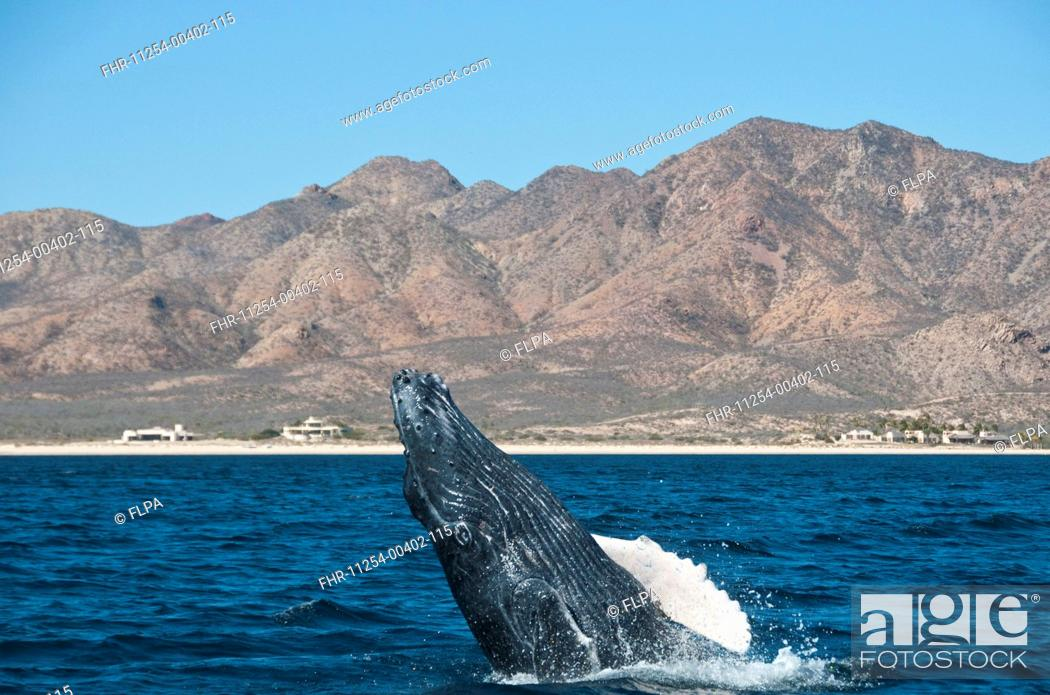 Stock Photo: Humpback Whale Megaptera novaeangliae adult, breaching, Cabo Pulmo National Marine Park, Baja California Sur, Mexico, march.