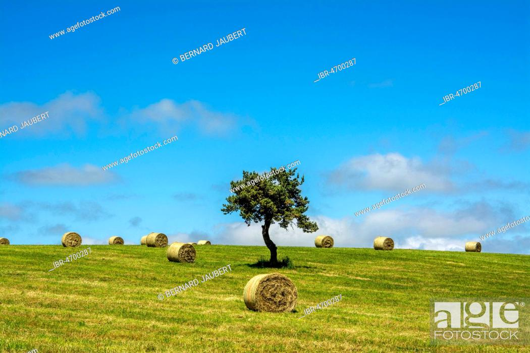 Stock Photo: Bales of straw on field with solitary tree and blue sky, Puy de Dome department, Auvergne-Rhône-Alpes, France.