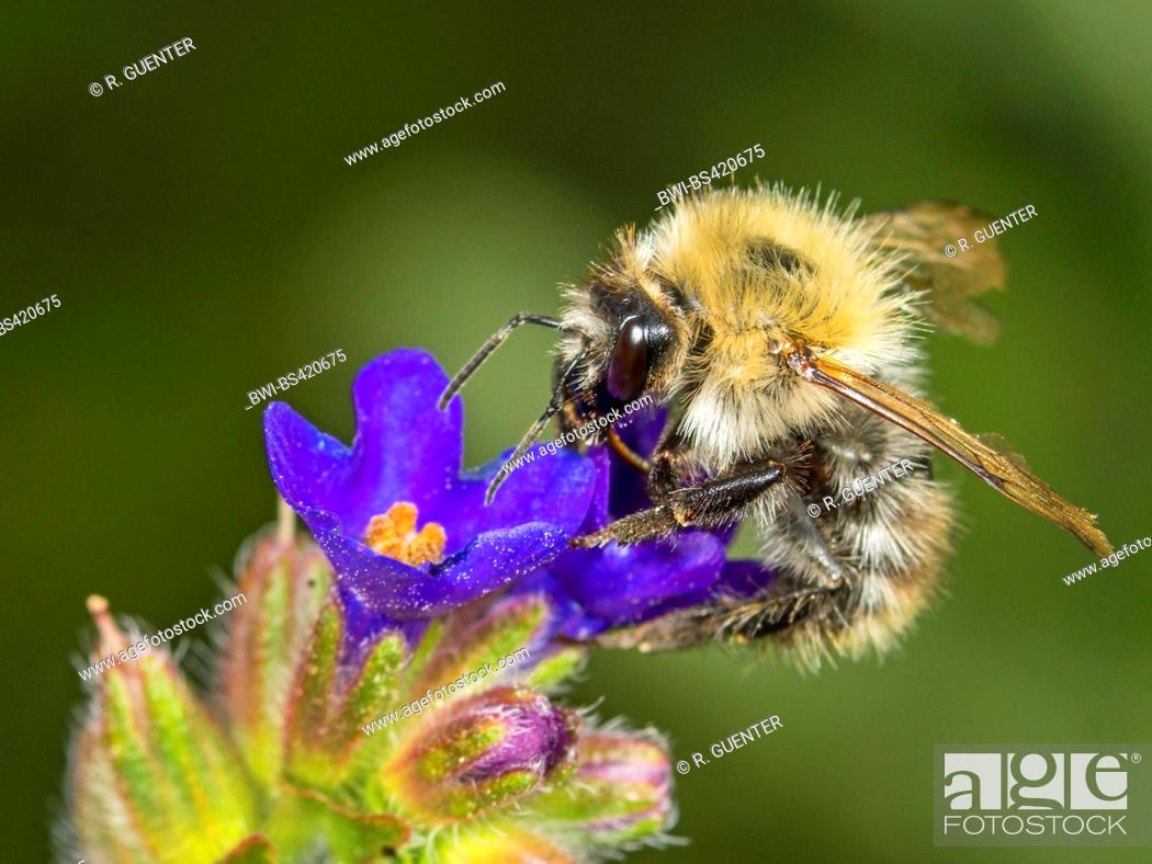 Stock Photo: carder bee, common carder bee (Bombus pascuorum, Bombus agrorum), Common Carder Bee worker foraging on Common Bugloss (Anchusa officinalis), Germany.