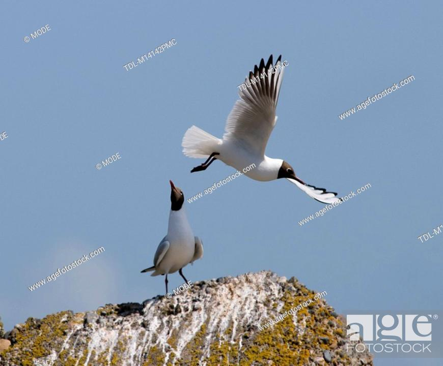 Stock Photo: A pair of black headed gulls.