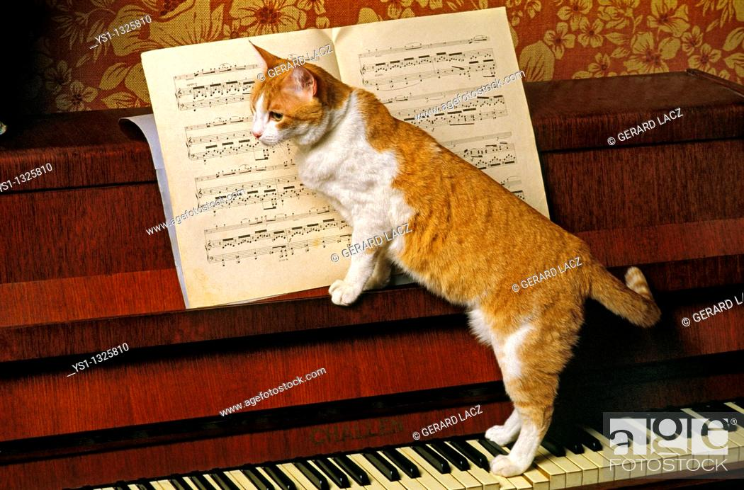 Stock Photo: RED AND CAT DOMESTIC CAT, ADULT STANDING ON PIANO.