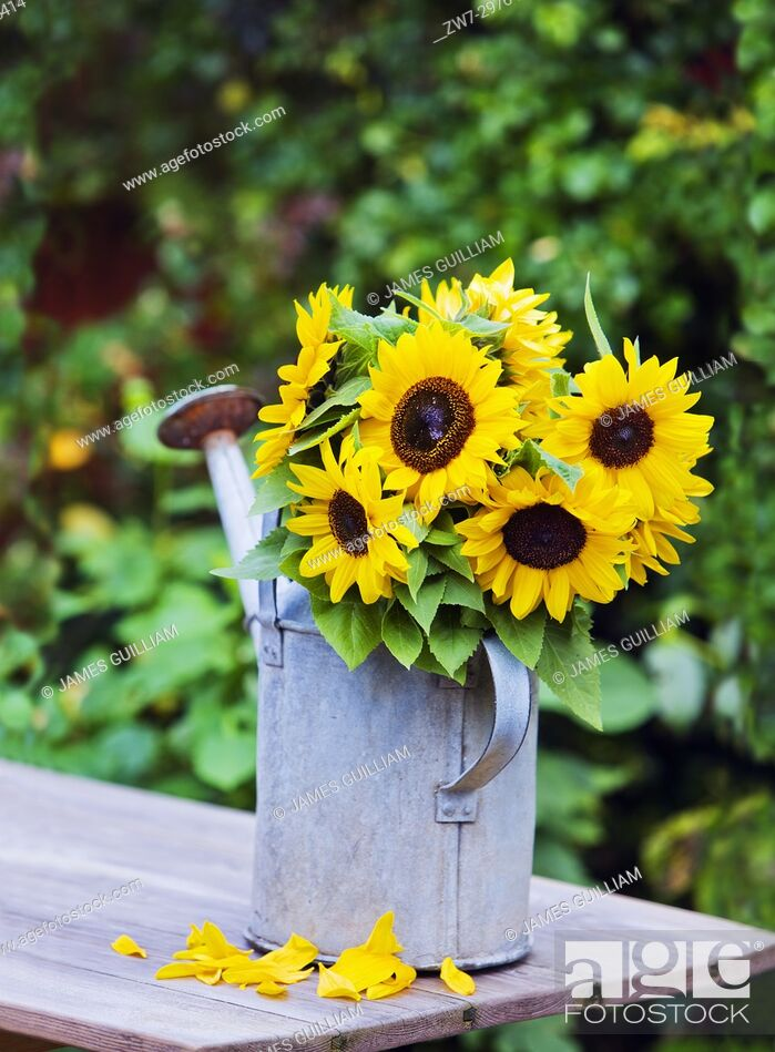 Stock Photo: Sunflowers in weathered vintage watering can on wooden table outdoors.