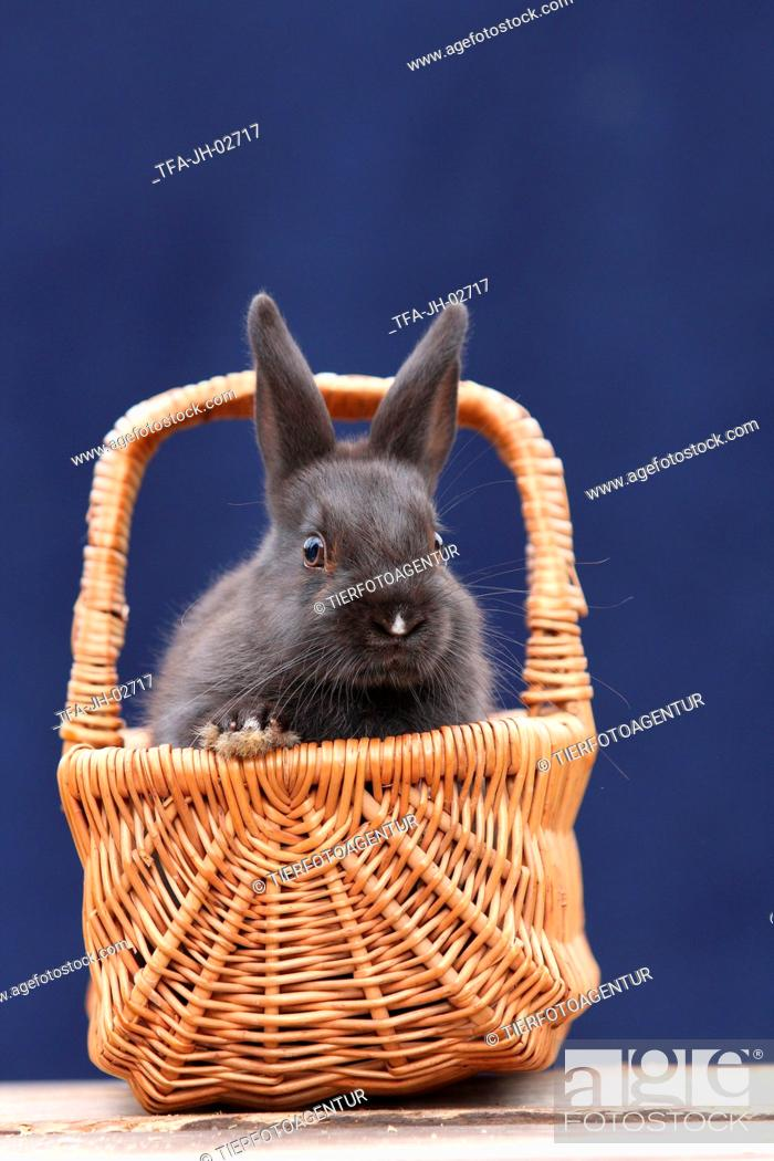 Stock Photo: pygmy bunny.