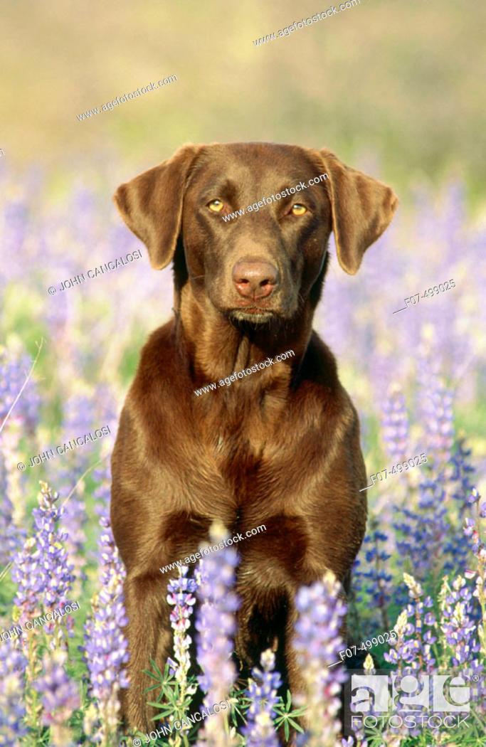 Stock Photo: Chocolate Labrador Retriever in lupines. Arizona, USA.