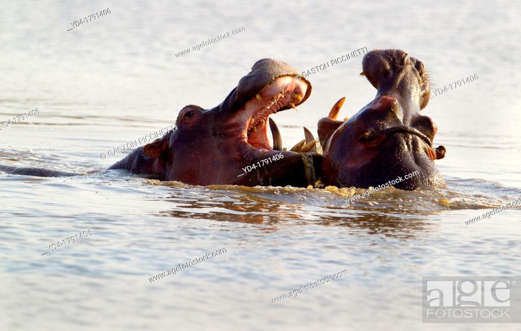 Stock Photo: Hippopotamus Hippopotamus amphibius, fighting, Kruger National Park, South Africa.