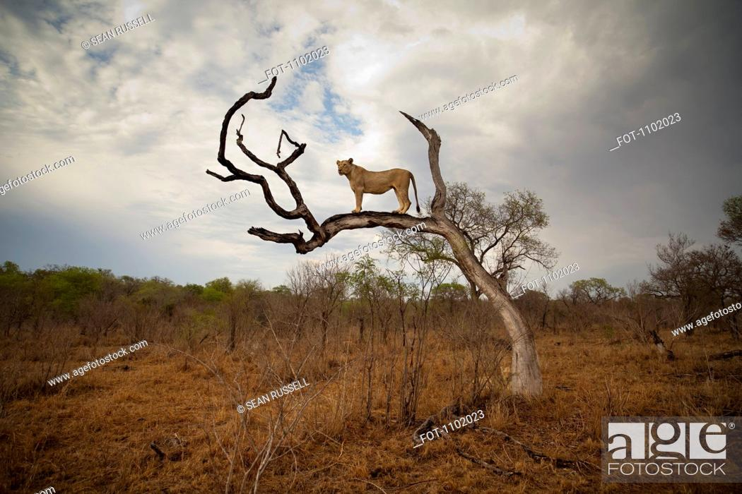Stock Photo: A female lion standing on bare branch.