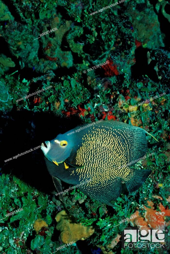 Stock Photo: French Angelfisch, Pomacanthus paru, Caribbean Sea, Tobago.