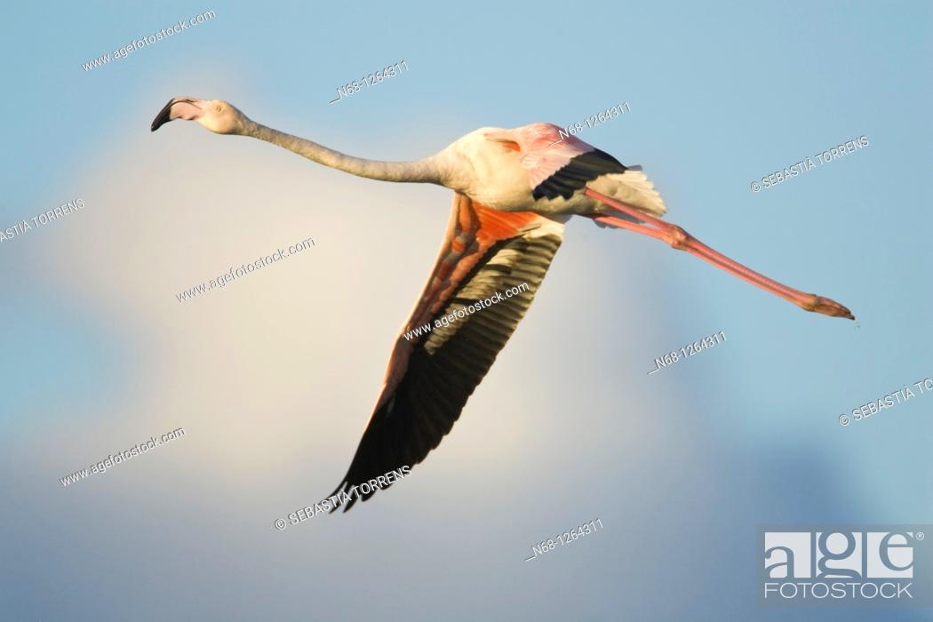 Stock Photo: Greater Flamingo Phoenicopterus ruber flying at PN Ses Salines, Eivissa, Spain.