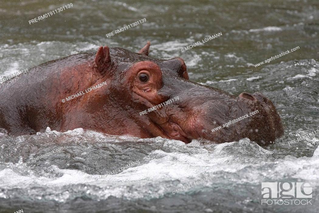 Stock Photo: Hippopotamus, Hippo, Hippopotamus amphibius.