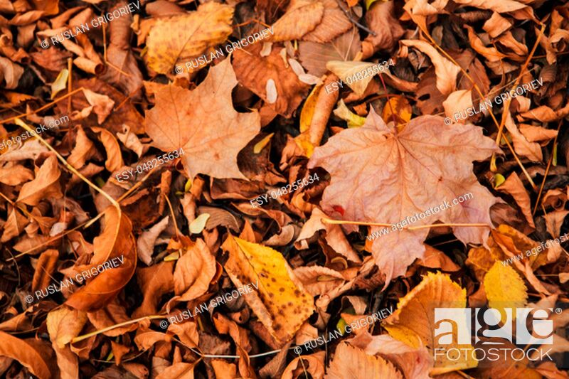 Photo de stock: colorful red orange autumn leaves close up.