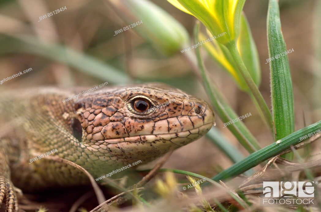 Imagen: sand lizard (Lacerta agilis), portrait.