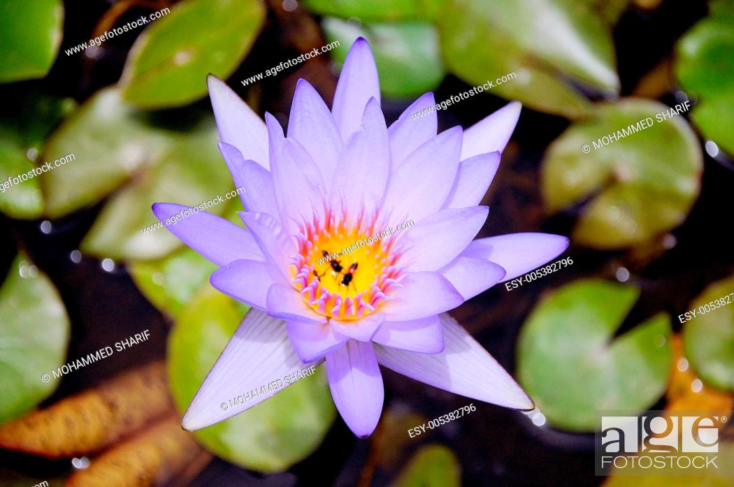 Stock Photo: Star water lily or lotus nymphaea nouchali ; Rajasthan ; India.