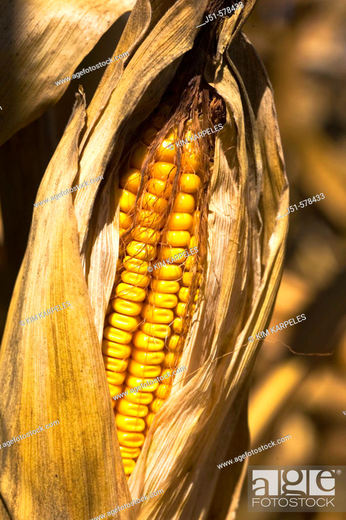 Stock Photo: Illinois, McHenry County, ripe ear of corn with shucks pulled back on corn stalk, gold kernels.