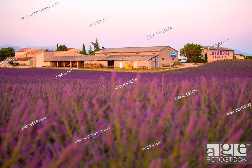 Stock Photo: Europe, France, Provence Alpes Cote d'Azur, Plateau de Valensole. Couple among flowers.