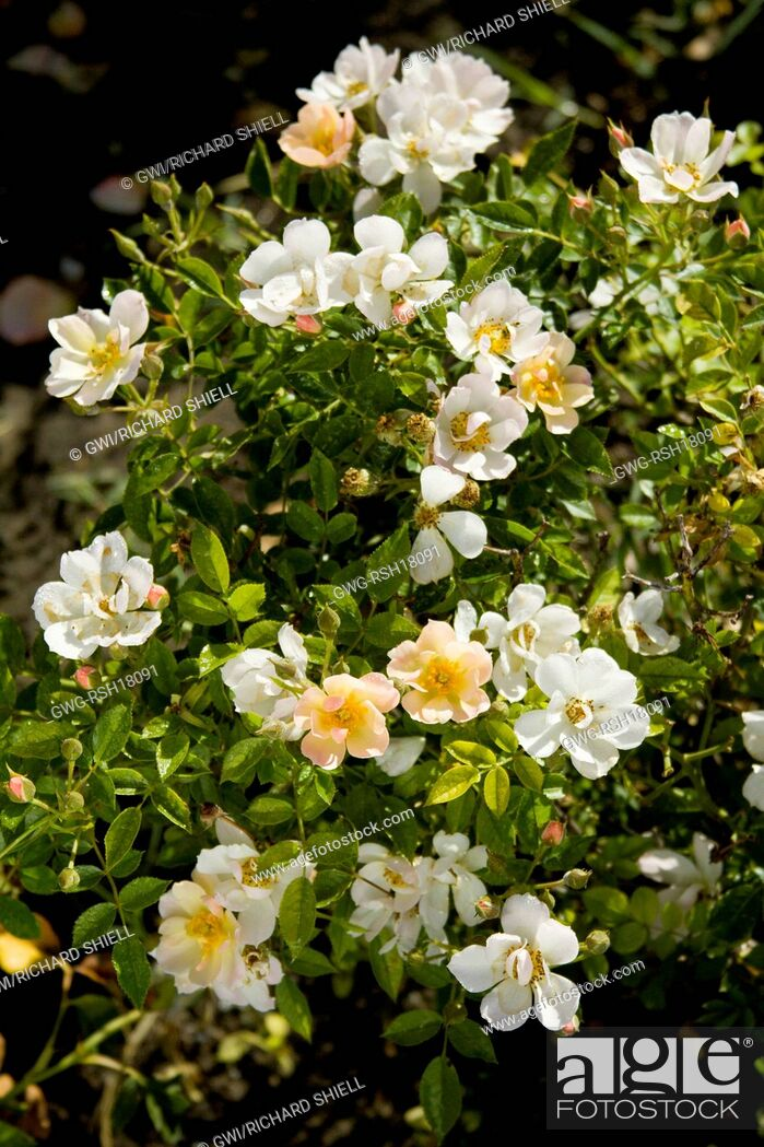 Photo de stock: ROSA 'SILICON VALLEY DIAMOND'.