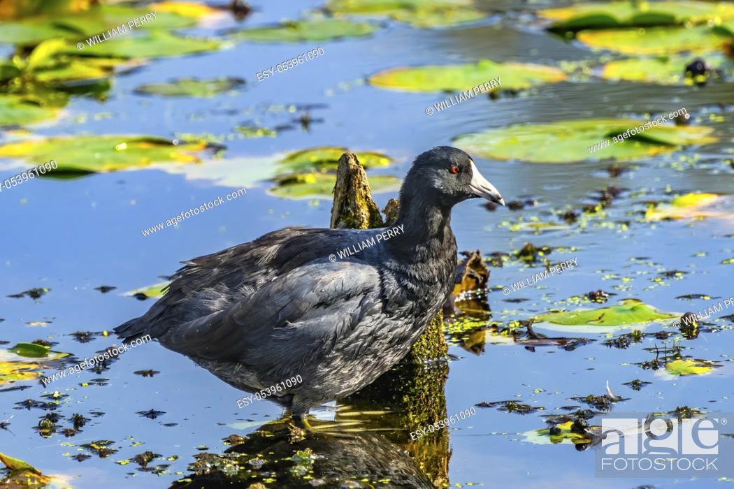 Stock Photo: American Coot Bird Duck Mud Hen Green Lily Pads Juanita Bay Park Lake Washington Kirkland Washiington. Coot technically classified as duck, but bird.