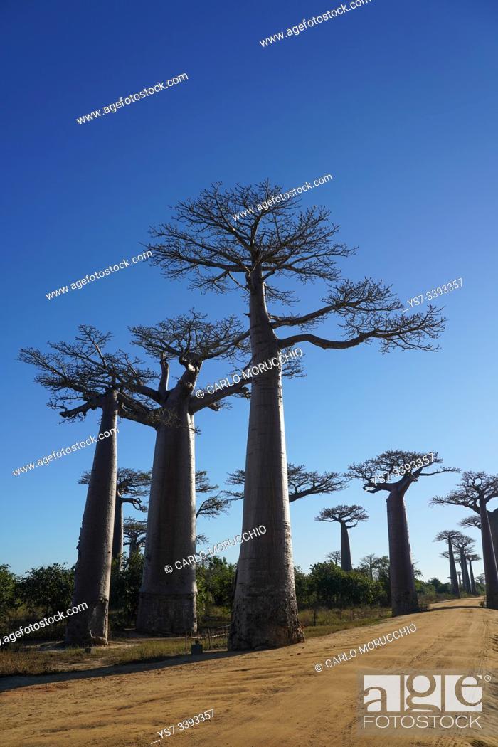 Stock Photo: Allée des Baobabs, Avenue of the Baobabs, Morondava, Menabe region, Western Madagascar.