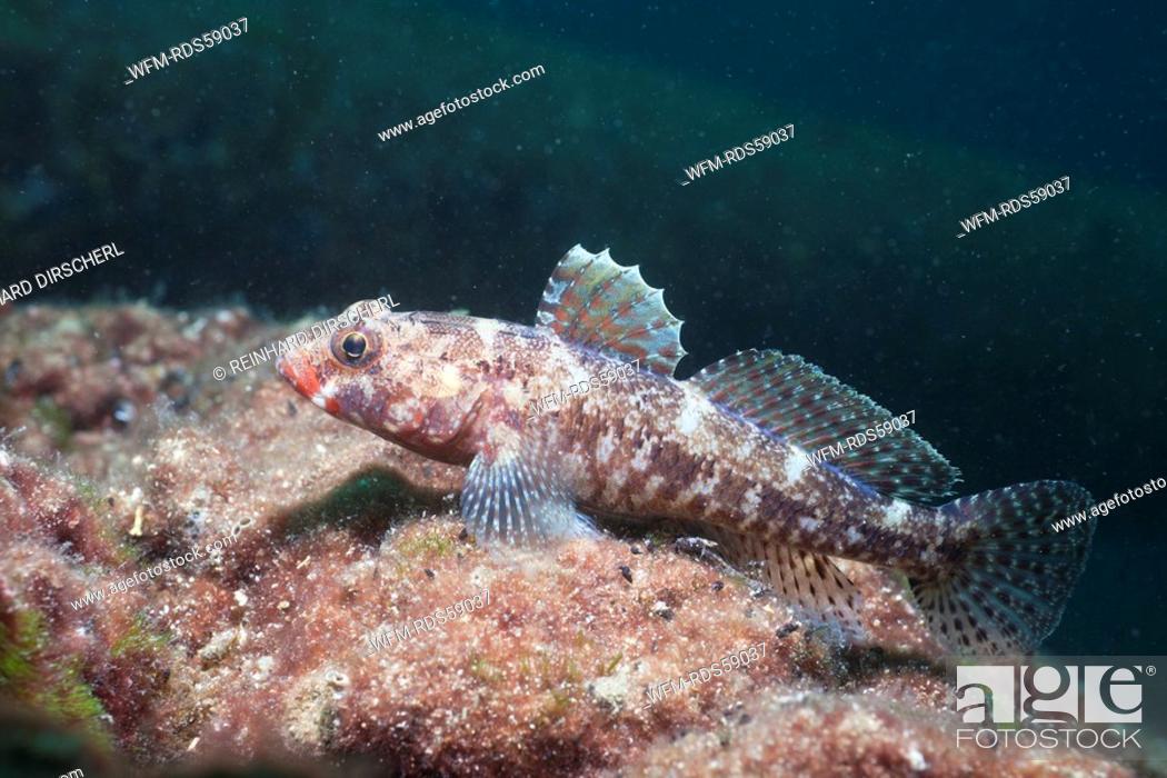 Stock Photo: Red Lip Goby, Gobius cruentatus, Istria, Adriatic Sea, Croatia.