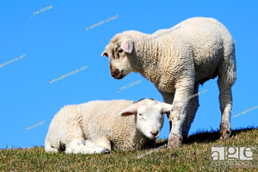 Stock Photo: Lambs  Domestic Sheeps , Ovis aries, Schleswig-Holstein  Germany.