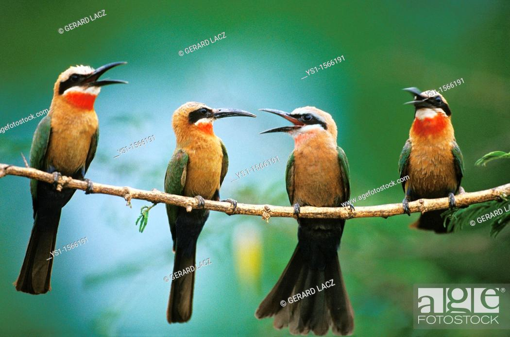 Stock Photo: White Fronted Bee Eater, merops bullockoides, Adults standing on Branch, Kenya.