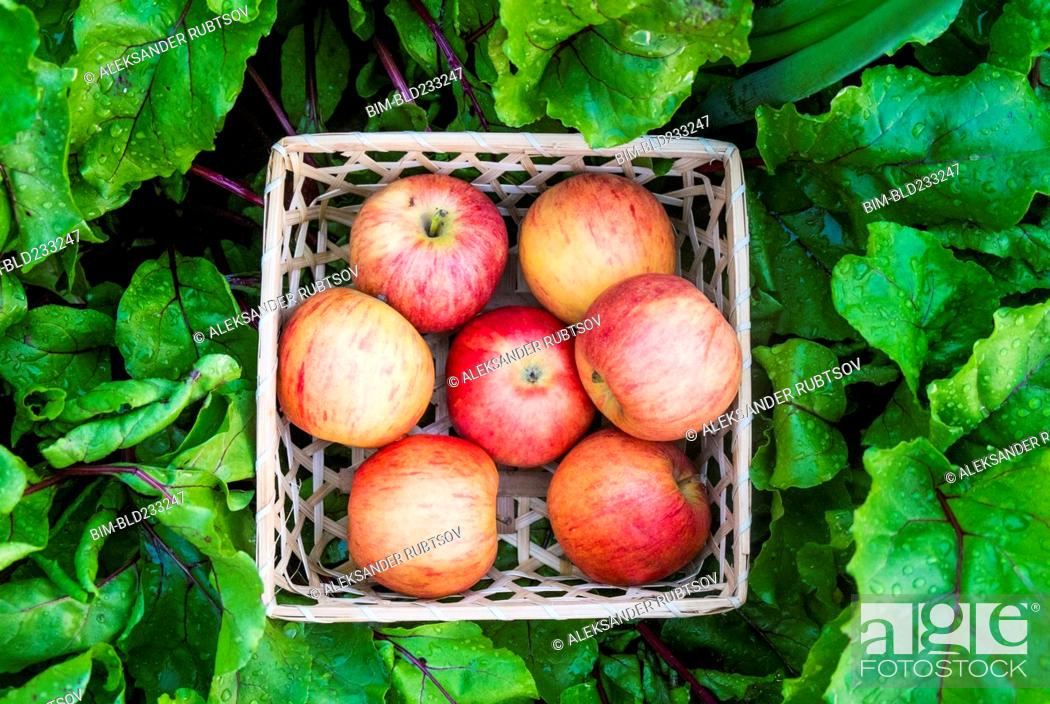 Stock Photo: Close up of basket of red apples in wet leaves.