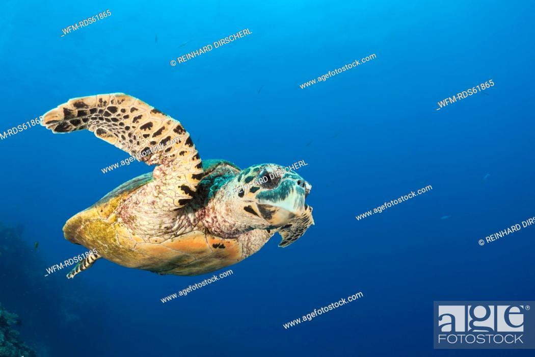 Stock Photo: Hawksbill Turtle, Eretmochelys imbricata, Namena Marine Reserve, Fiji.
