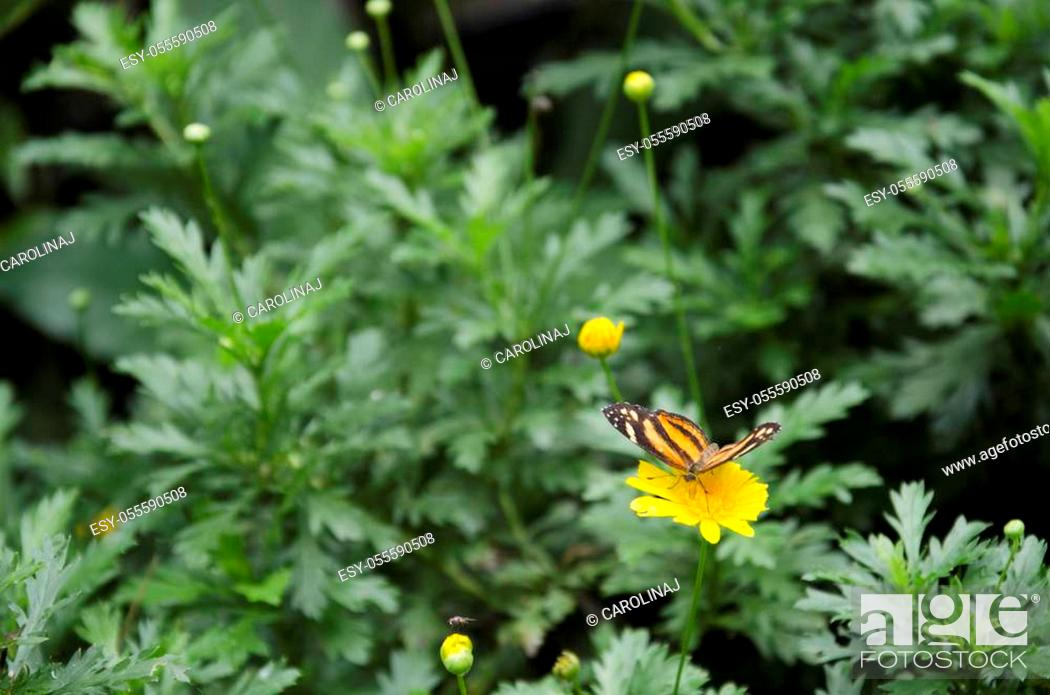 Stock Photo: Isabella's longwing / Isabella's heliconian (Eueides Isabella) on a yellow flower.