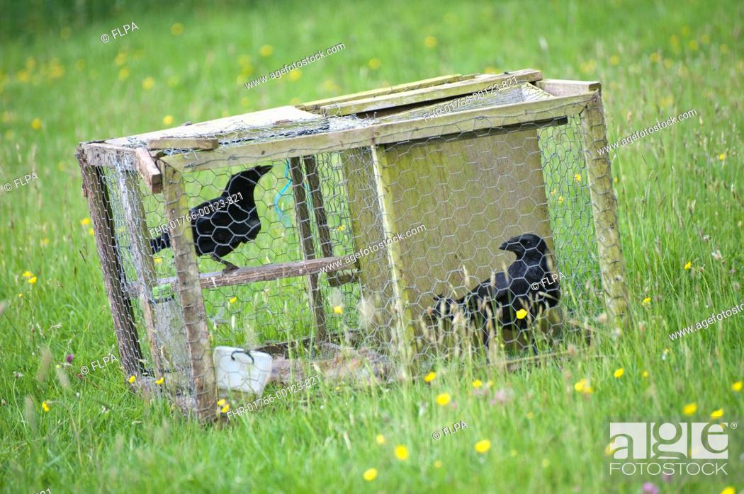 Stock Photo: Carrion Crow Corvus corone two adults, in larsen trap, pest control on farm, England, june.