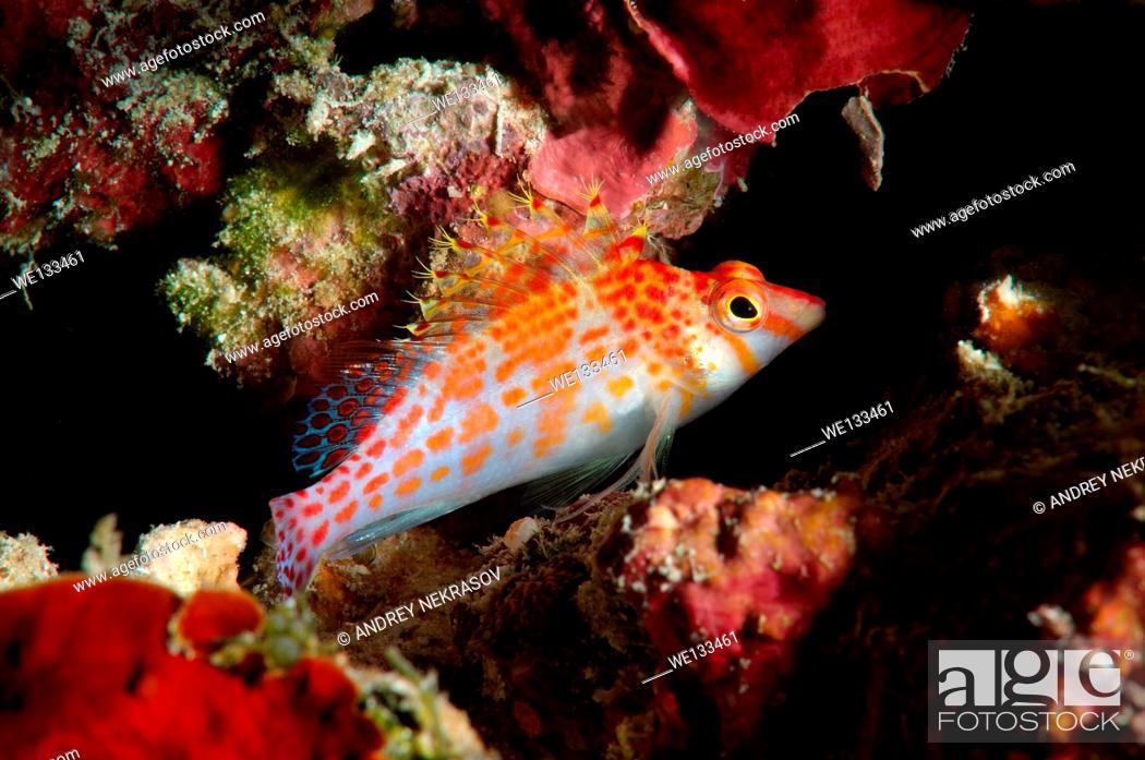 Stock Photo: dwarf hawkfish (Cirrhitichthys falco) Bohol Sea, Philippines, Southeast Asia.