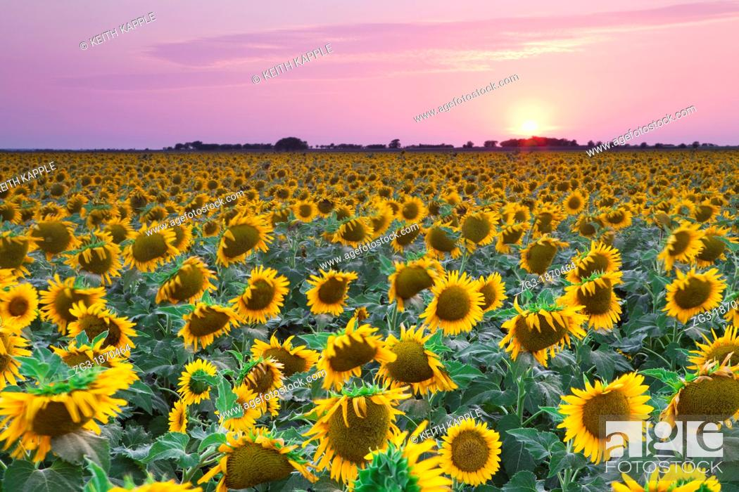 Stock Photo: Field of Sunflowers at sunset in an open field in west Texas, USA.