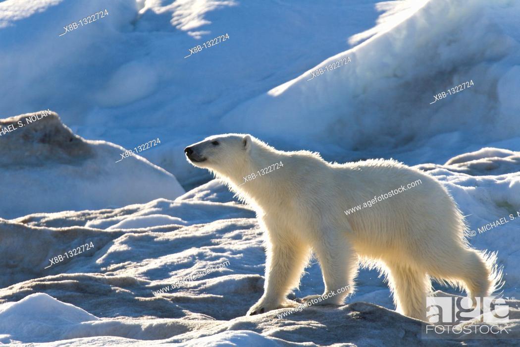 Stock Photo: Polar bear Ursus maritimus on multi-year ice floes in the Barents Sea off the eastern coast of Edge¯ya Edge Island in the Svalbard Archipelago, Norway.