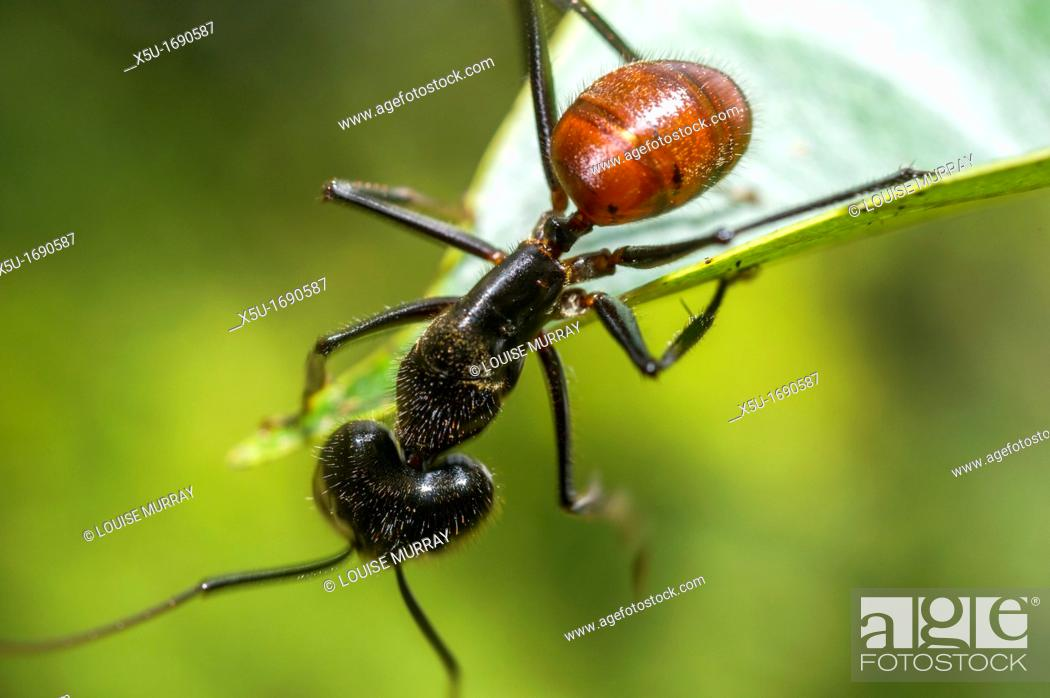 Stock Photo: Giant forest ant foraging - Componatus gigas.