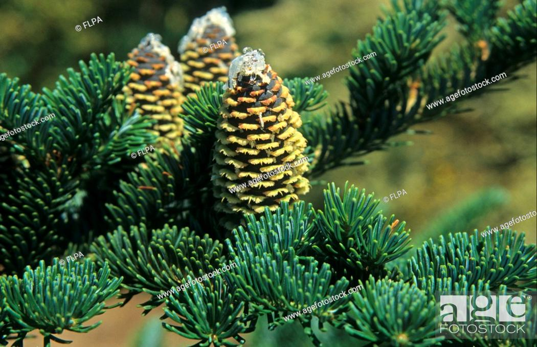 Fraser Fir Abies Fraseri Fruit Stock Photo Picture And Rights