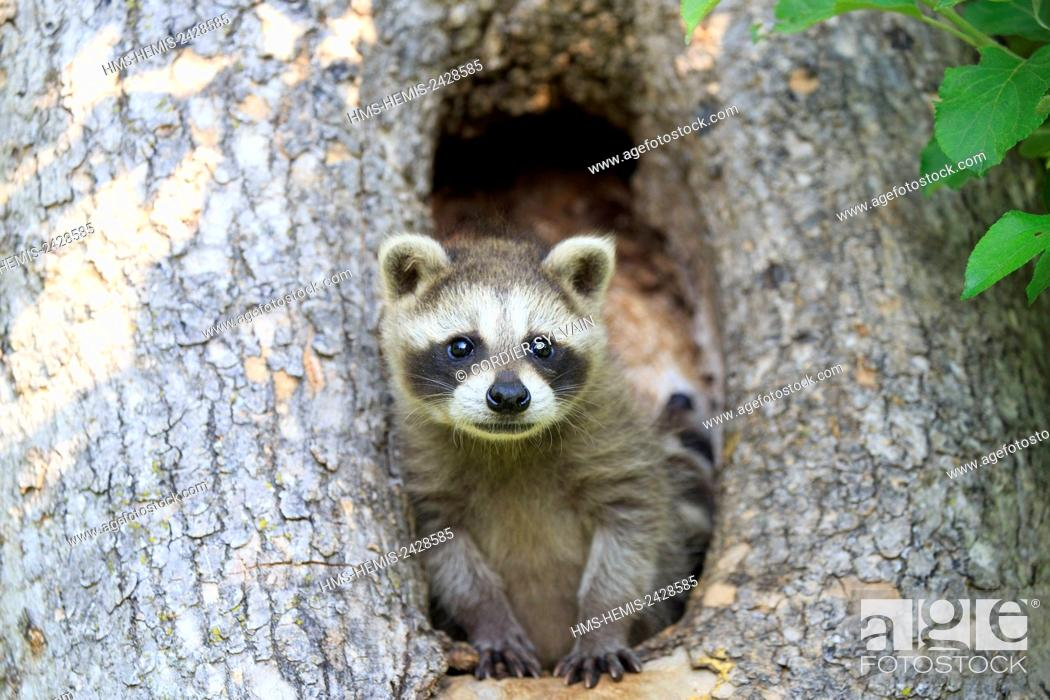 Stock Photo: United States, Minnesota, Raccoon or racoon (Procyon lotor), young.