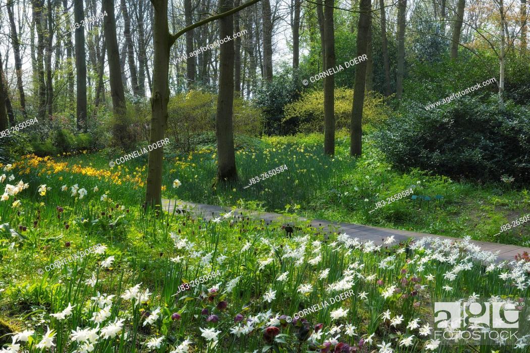 Imagen: Park mit Frühjahrsblumen, (Narzissen) . Keukenhof Gardens, Lisse, Holland, Netherlands, Europe.